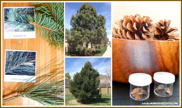 Fir vs. Pine