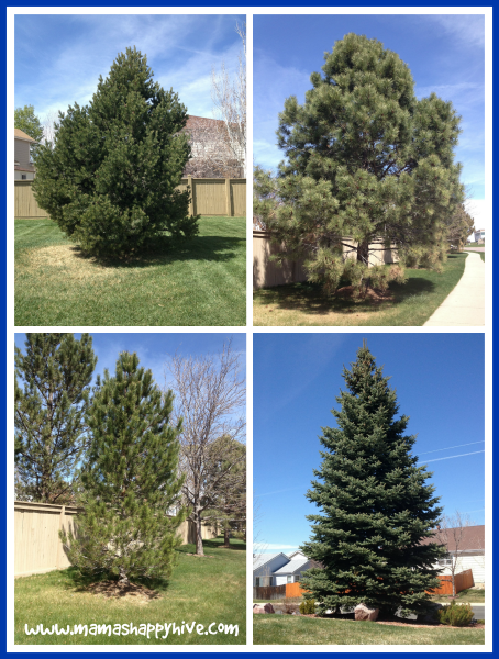 Neighborhood Fir Trees