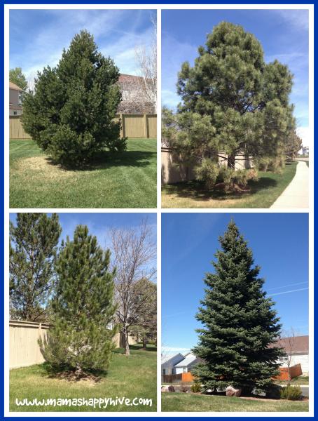 Neighborhood Fir Trees