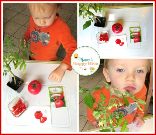 Tomatoes - www.mamashappyhive.com