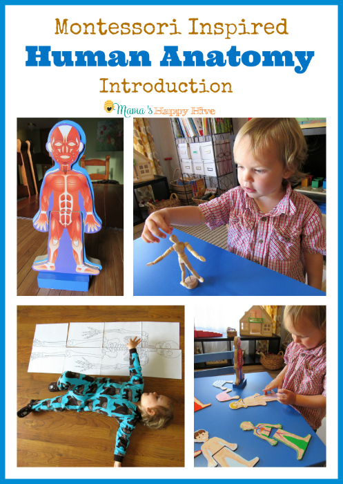 Montessori Human Anatomy Introduction