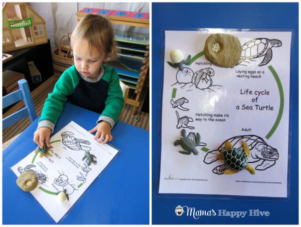 Turtle Life-Cycle - www.mamashappyhive.com