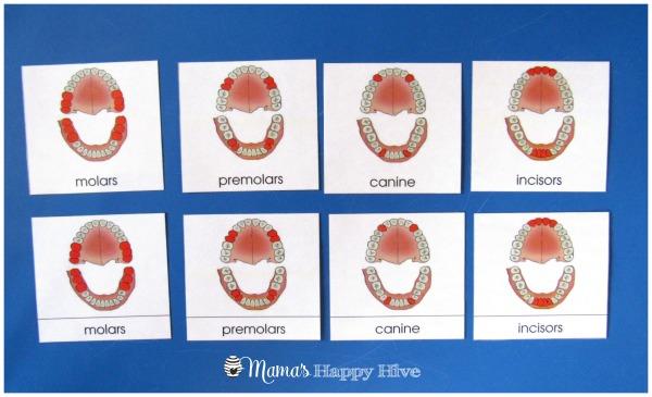Teeth Nomenclature - www.mamashappyhive.com