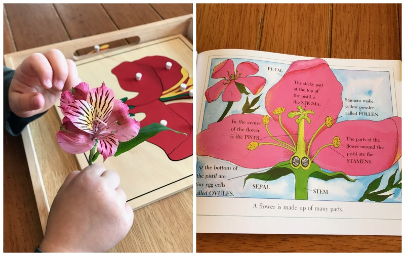 In this Montessori botany lesson we observed the flower, dissected the flower parts, examined the intricate details of the flower, and used the Montessori flower puzzle for matching work. - www.mamashappyhive.com