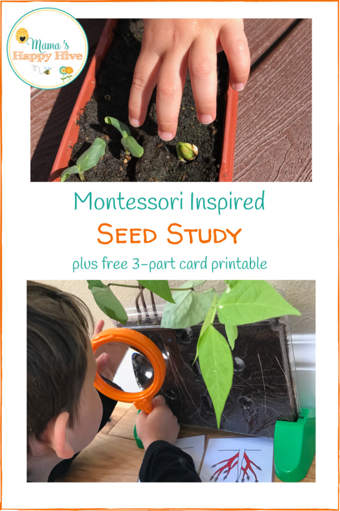 This Montessori Inspired Seed Study explores the anatomy of the seed by dissection and examination of how it grows in a root viewer. - www.mamashappyhive.com