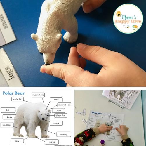 Polar Bear Life Cycle montessori arctic activities and printables including polar bears