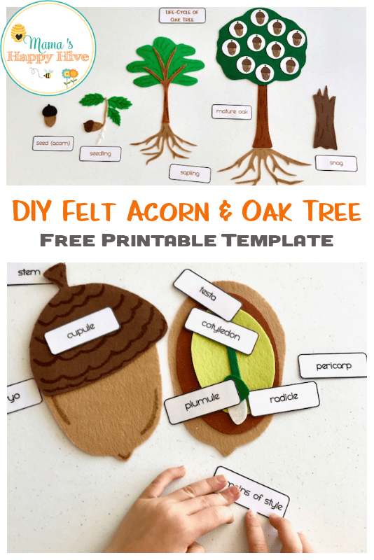 A lovely DIY felt acorn parts and oak tree life-cycle, is an easy hands-on activity to help a child learn about the parts of an acorn and its life-cycle. Also, included is a free acorn and oak tree printable template. www.mamashappyhive.com